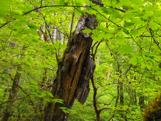 Miraculous tree you are, even with this much bark damage; you grow bright green leaves again this year, making dark green again, the forest.