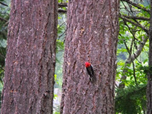 Woodpecker, by RHR