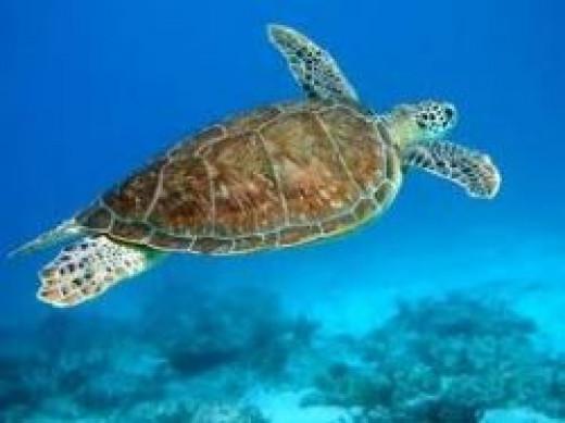 hawksbill-sea-turtle.jpg
