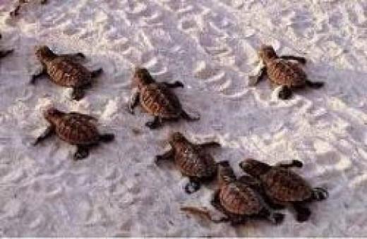 hawksbill-sea-turtle-baby.jpg