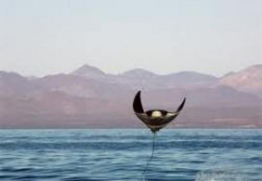 manta-ray.jpg