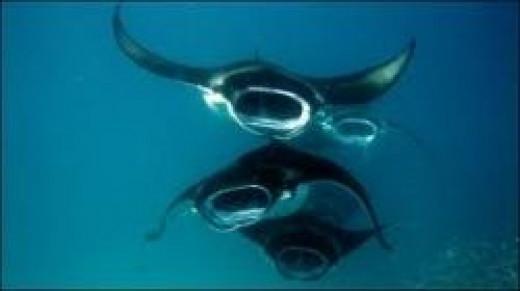 manta-ray-mating.jpg