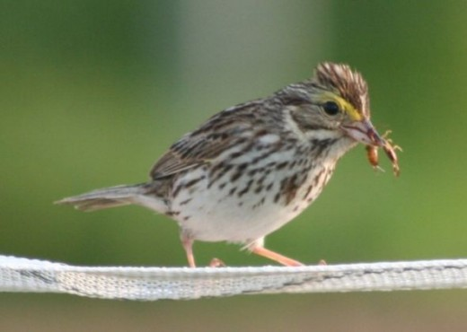 A Savannah Sparrow with Lunch, Close up