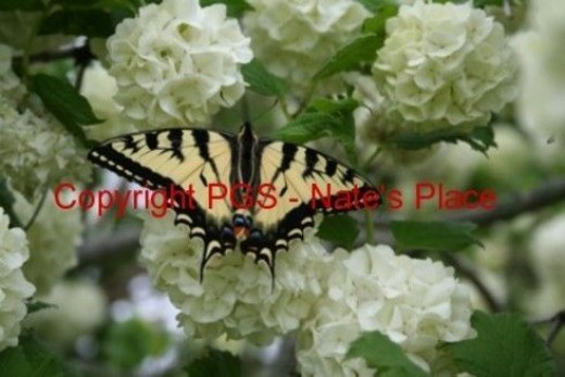 An Anise Swallowtail Butterfly, Close up