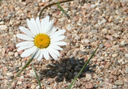 A single Daisy in Macro Mode growing in our riding ring