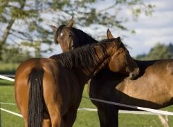Happy Horses Scratching Mutually