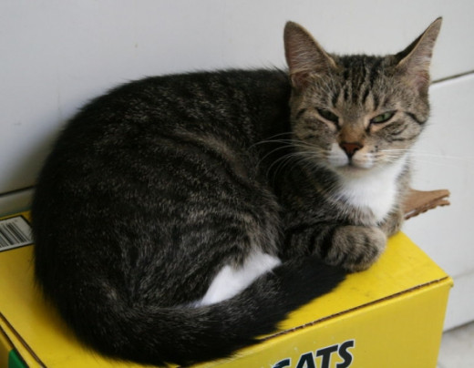 grey and white tabby cat resting on a box of cat litter