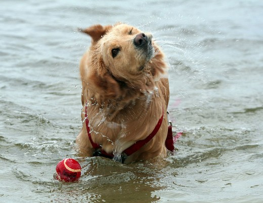 Golden Retriever Retrieving!