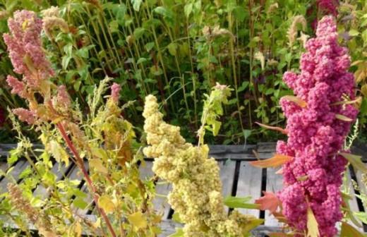 Quinoa in bloom.