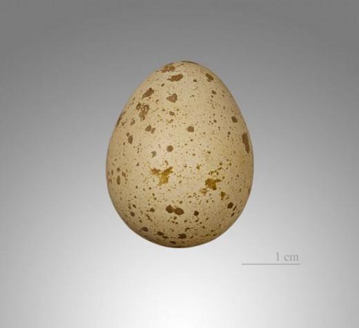 Quail Egg