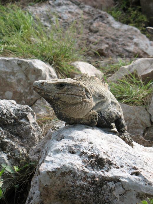 Plenty of iguanas