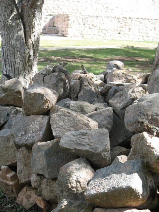 Secret hideout of the iguanas