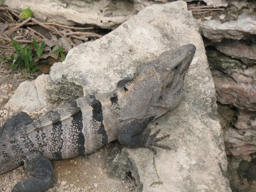 This iguana was down by the water well and would not relinquish his spot on the rock no matter how many people stood near him.