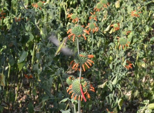 Hummingbird visiting the local flowers