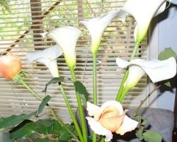 Arum Lillies and Just Joey Roses