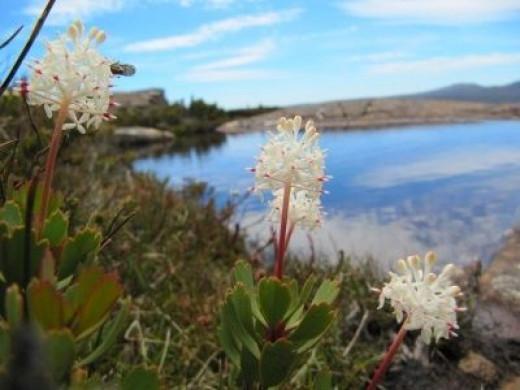 Tarn shelf - beautiful summer flowers of the mountain rocket