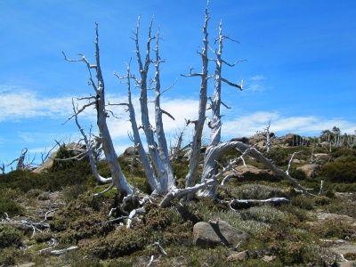 Skeletons of pencil pines