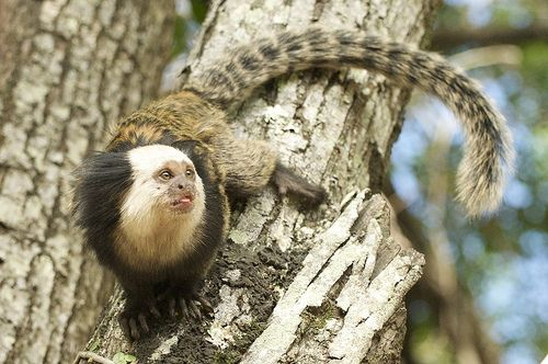Marmoset Monkey claws and non-prehensile tail