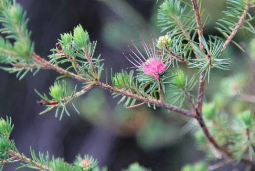 needle-like leaves