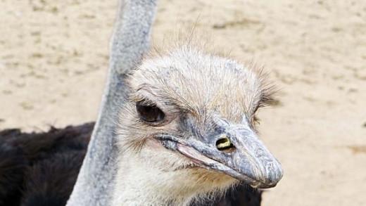 Arizona Ostrich