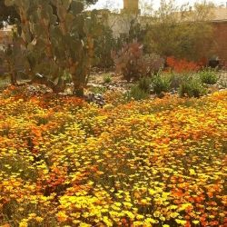Arizona Poppy Field