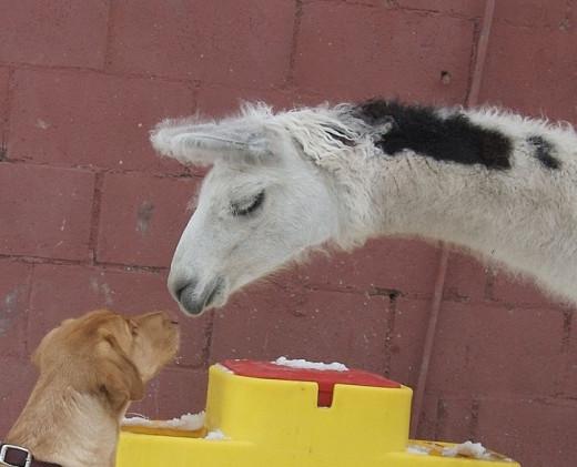 Labrador & Llama