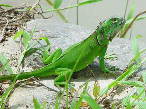 Iguanas are a popular reptile pet