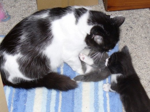 Star has duties with Qik's kittens now that hers are all gone. The one on the right is waiting for a toilet service.