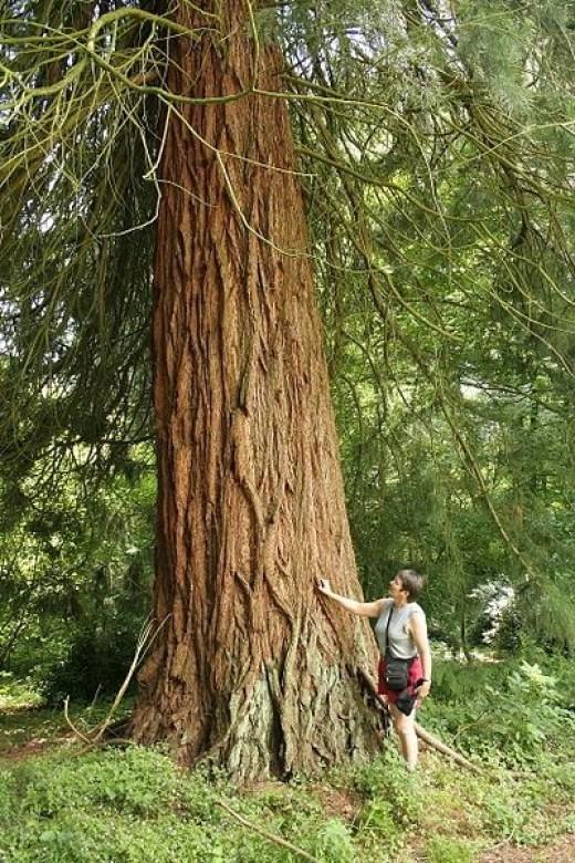 Belgian Sequoia