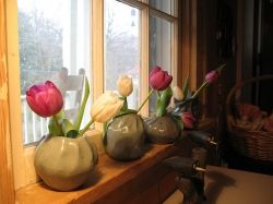 Indoor Tulips