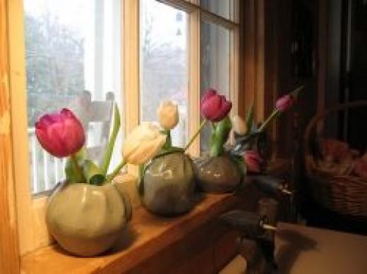 Indoor Tulips