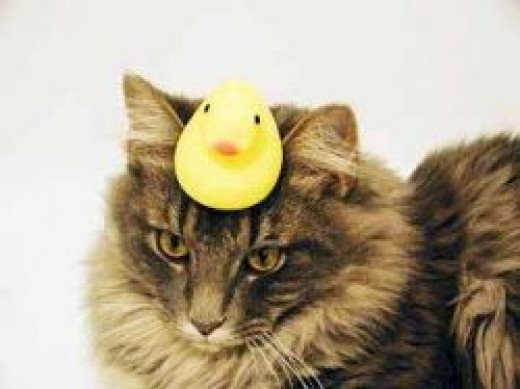 Duck on cat