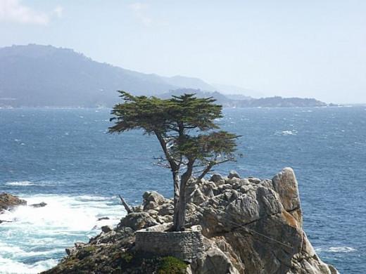 California Pine