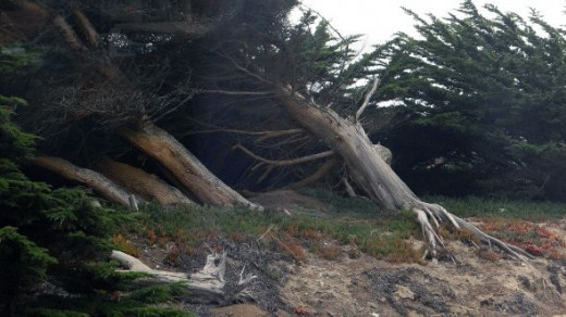 Windblown Trees along the Northern California Coast
