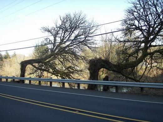 Windblown Trees along the Oregon Coastal Highway