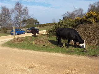 Cattle roaming freely in the New Forest