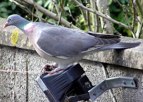 Wood Pigeon waiting to pounce on your cabbages?
