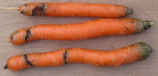 Carrots Damaged by the Carrot Fly