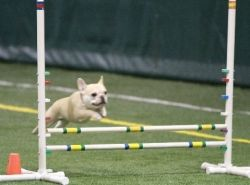 Teddy in agility