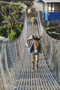 mules in Nepal
