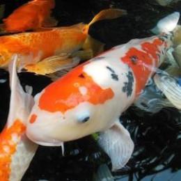 The beauty of koi for Ornamental carp