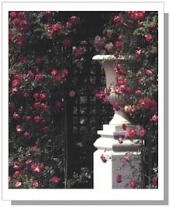 """Rosa 'Alexandre Girault' from """"Climbing Roses of the World"""" by Charles Quest-Ritson. Available at"""