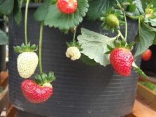 growing strawberries in a pot