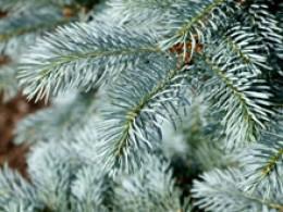 Blue Spruce evergreen tree