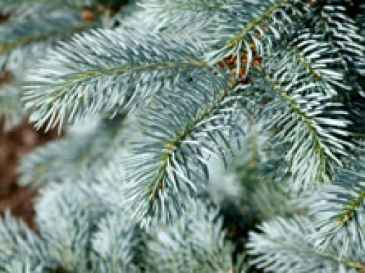 Blue Spruce evergreen tree