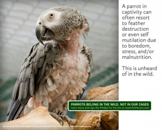 Unhappy African Gray Parrot