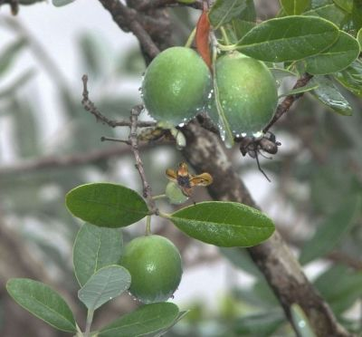 """Pineapple Gem"" is a feijoa variety which originated from Azusa, California by Monrovia Nursery and named for its taste."