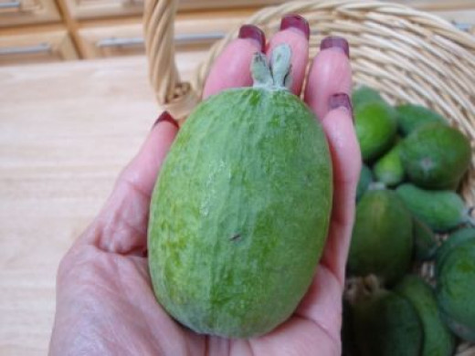 """Edenvale Supreme"" feijoa from Edenvale Nurseries ripens in November and likes the cool coastal areas of California."