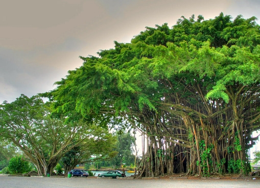 Notice The Size Of These Old Banyan Trees In Comparison To The Parked Cars