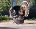 Wild Turkeys in our Garden